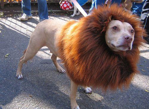Chow Chow Lion Cut Creative chow grooming/cut